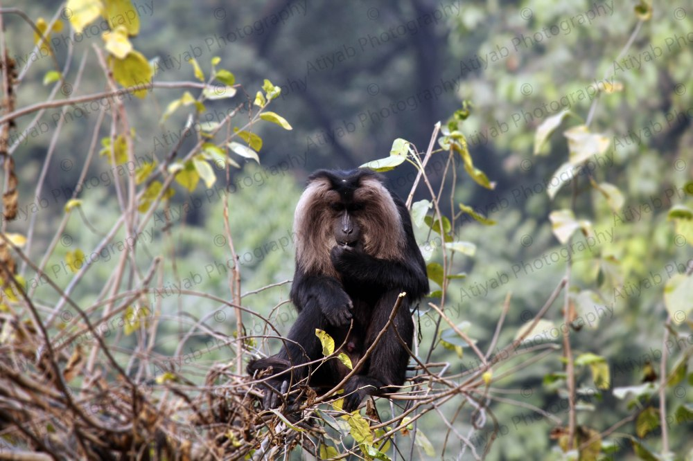 lion-tailed-macaque-1