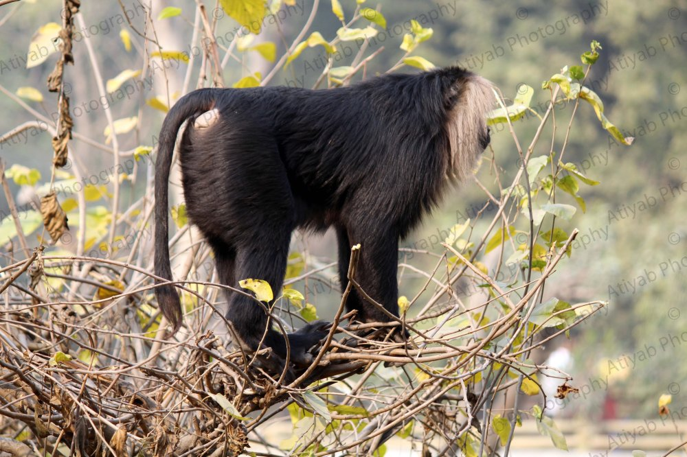 lion-tailed-macaque-tail