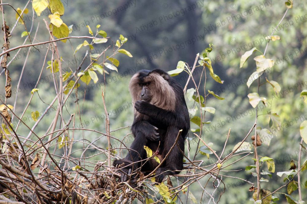 lion-tailed-macaque-eats