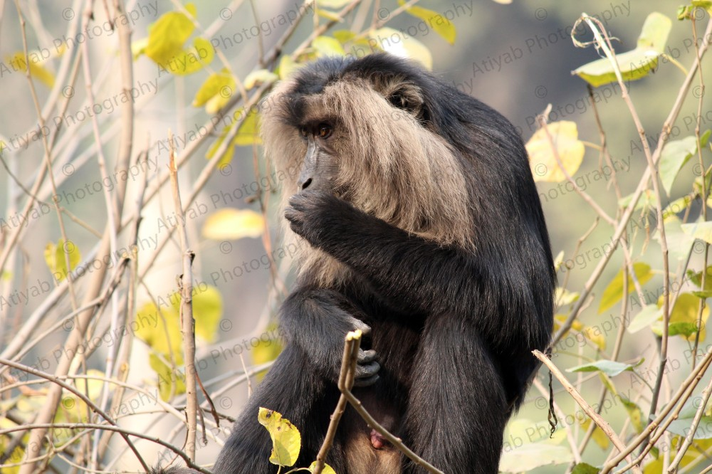 Lion-Tailed-Macaque-eatss