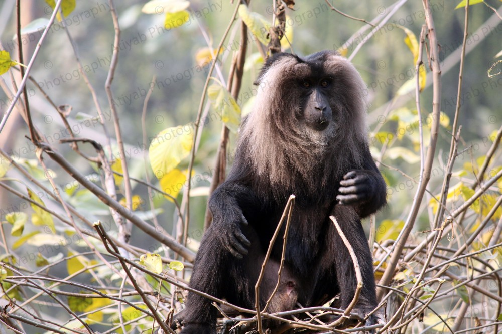 lion-tailed-macaque