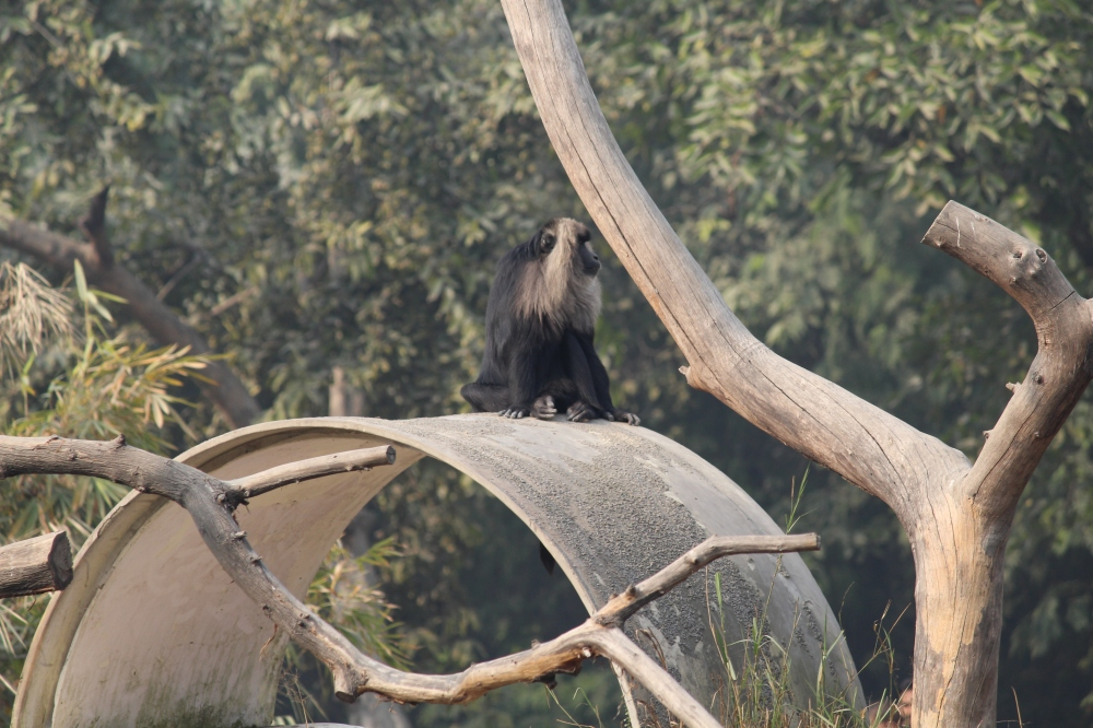 lion-tailed-macaque-zoo
